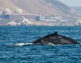 Wieloryb pływający w pobliżu elektrowni atomowej Diablo w Kaliforni. (CC By mikebaird)