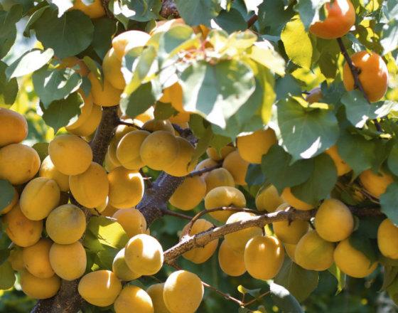 Apricot-tree-long v1