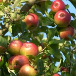 The unknown future of Polish apples
