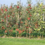 Poland: apple harvest to reach 5 million tons in 2018