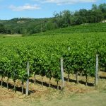 Croatian wine industry becomes stronger