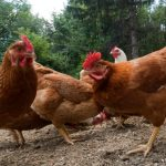 Poland is the EU leader in poultry production