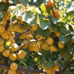 Central and Southeast European apricot market decreased